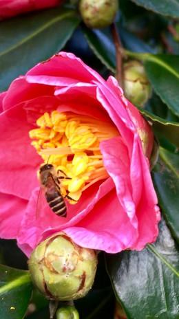 蜜を吸う蜜蜂