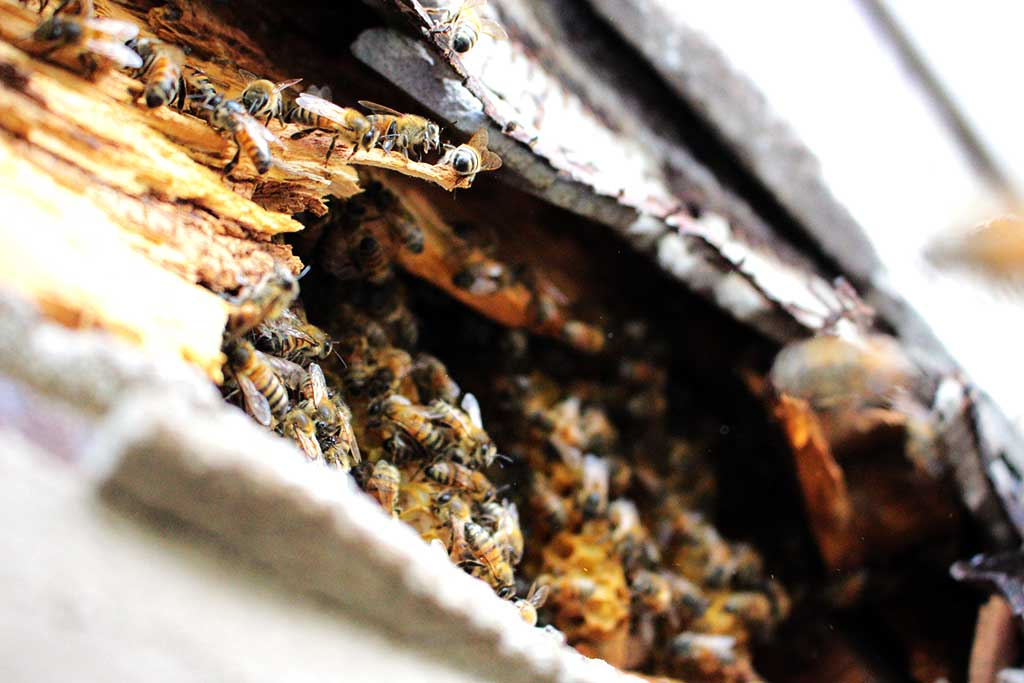 bees-in-home