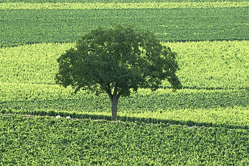 oak-tree-between-villages-and-clavoillon