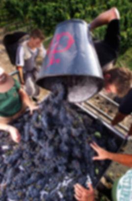 Chateau-Haut-Brion-vignes-et-raisins-9.j