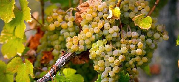 Arneis grape variety.jpg