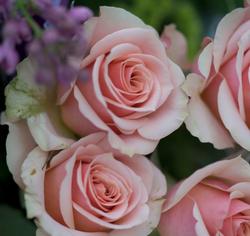 Roses at Athelhampton