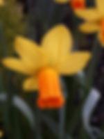 Daffodil Feb2019.jpg