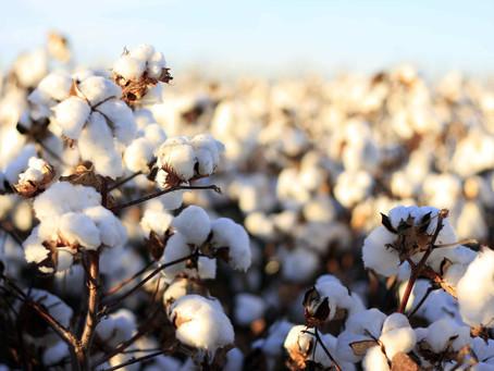 Conventional VS Organic Cotton