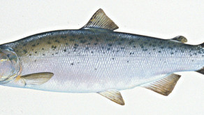 Tips for Selecting, Storing, and Cooking Salmon