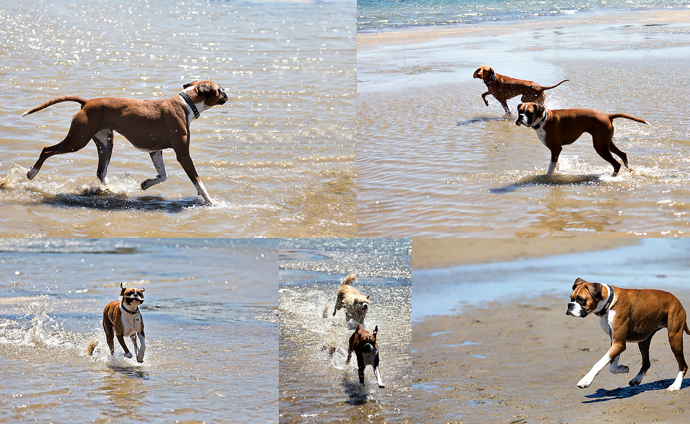 Boxer Dog Beach