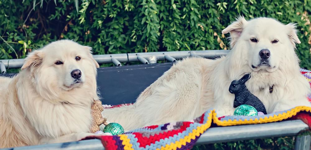 Samoyed Golden Retriever Dogs Rabbit Chocolate Eggs Easter