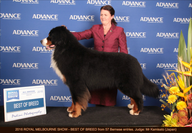Keith - Best of Breed Bernese Mountain Dog 2016
