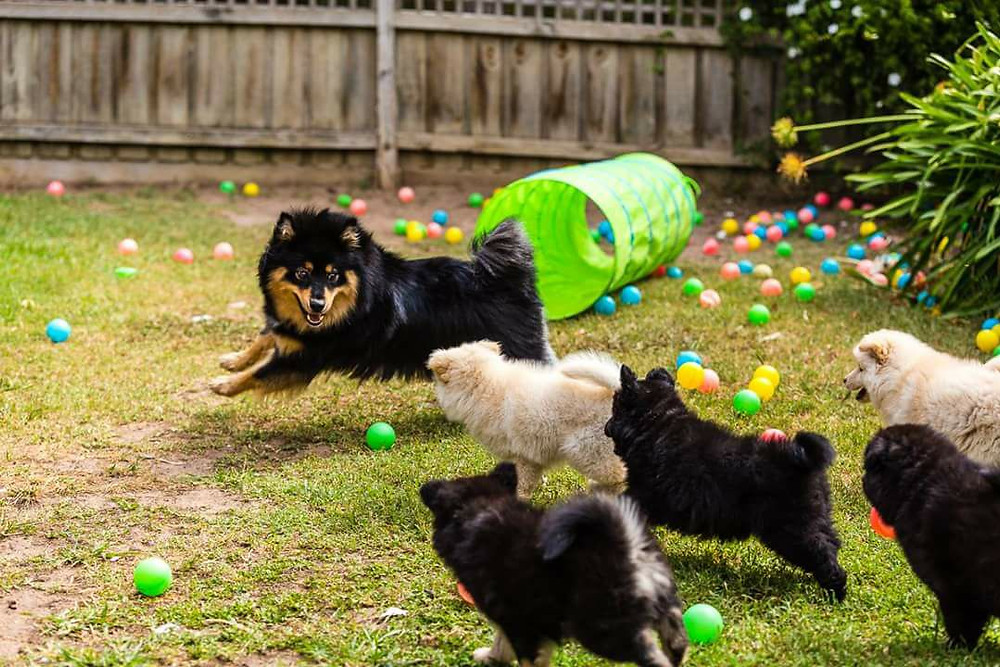 Finnish Lapphund Puppies at play