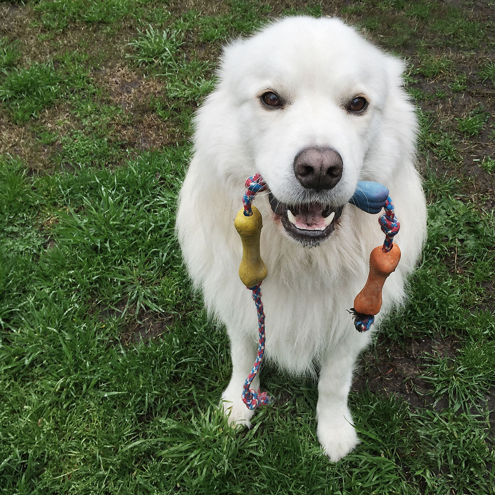Samoyed Golden Retriever Dog holding toy