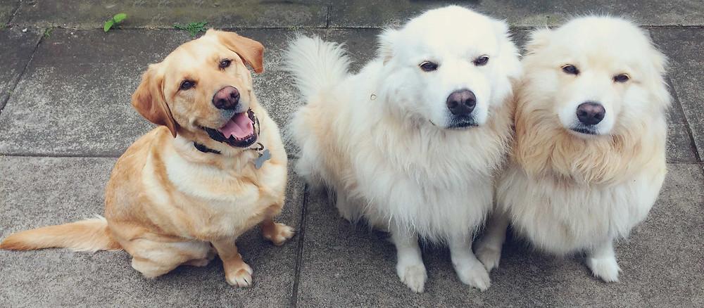 Poppy Labrador x Golden Retriever, Finn and Luna Samoyed x Golden Retrievers