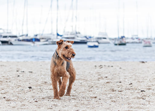 Airedale Dog on beach with boats in the background