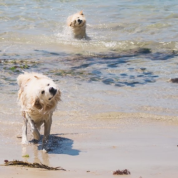Finn and Luna Shaking off water at the beach