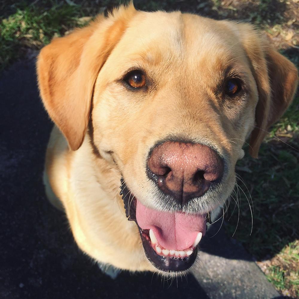 Poppy Labrador x Golden Retriever