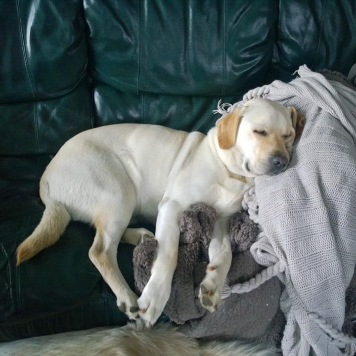 Labrador snoozing on couch