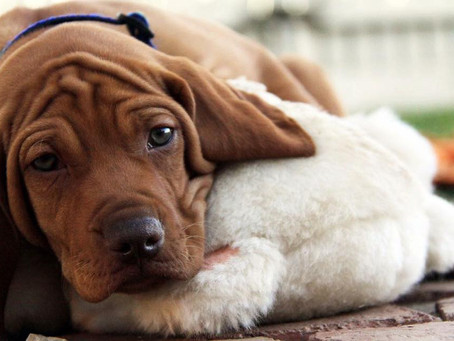 Guest Post: Buying a puppy from a responsible breeder - Part 1