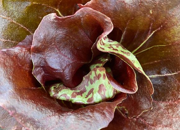 Chicory 8 oz