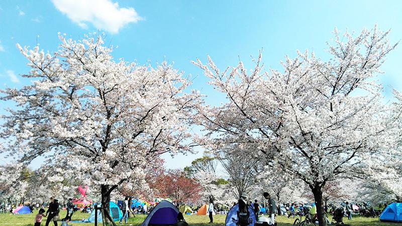 舎人公園千本桜まつり2019