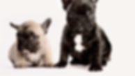 Two French Bulldogs