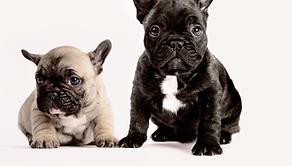 Due francese Bulldogs
