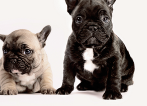 Top 10 Breed-specific Conditions That Could Mean Surgery for Your Dog