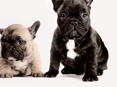 如何選擇第二隻狗