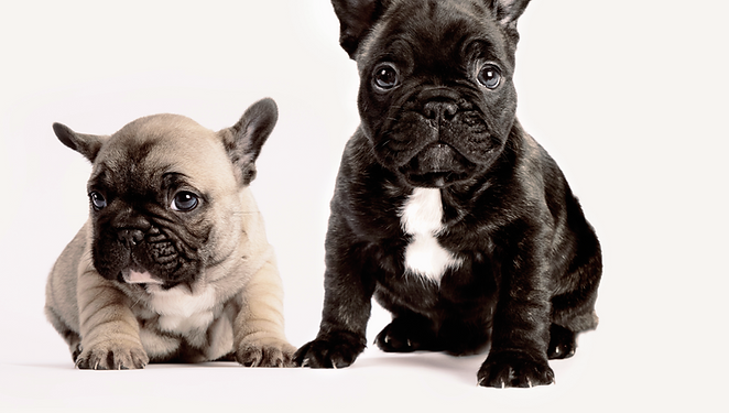 Två franska bulldoggar