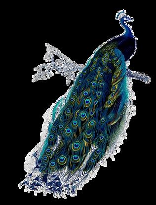 Peacock III.png