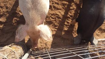 Schultz Family Farms Pigs