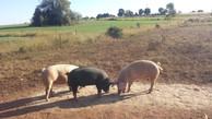 Schultz Family Farms Free Range