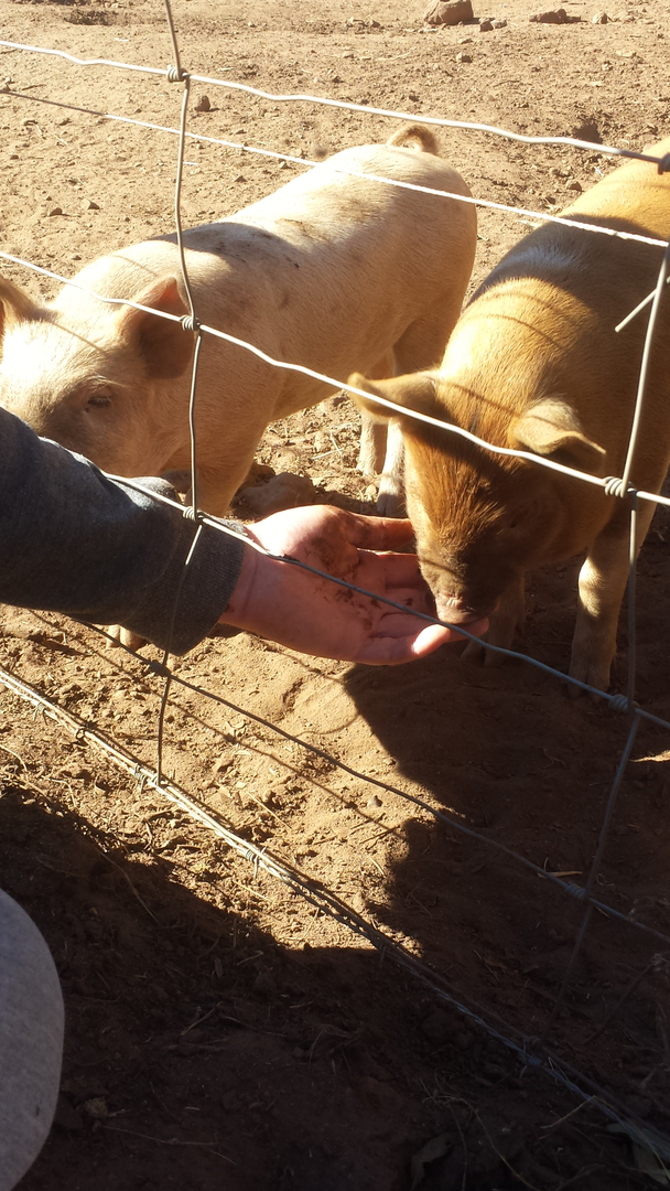 Schultz Family Farms Piglet