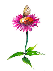 Echinacea & Butterfly