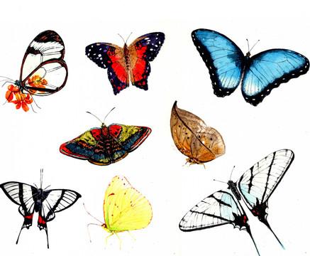 American butterflies