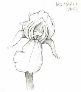 Iris Pearly Dawn