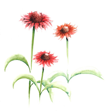 Echinacea Playful Meadow