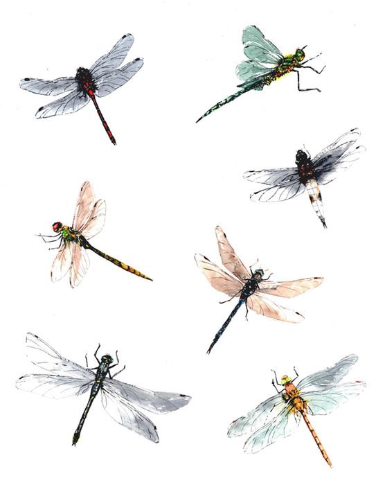British Dragonflies
