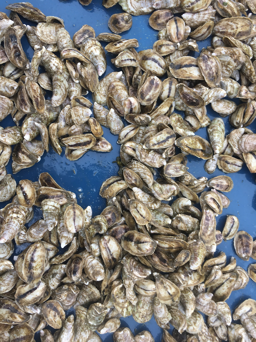 fresh premium maine oysters from emily's oysters