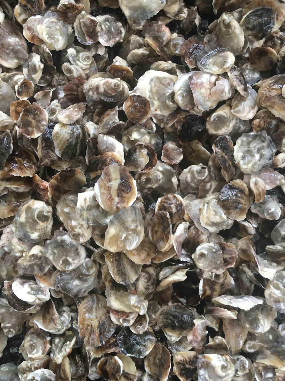 baby oysters, oyster seed, emilys oysters