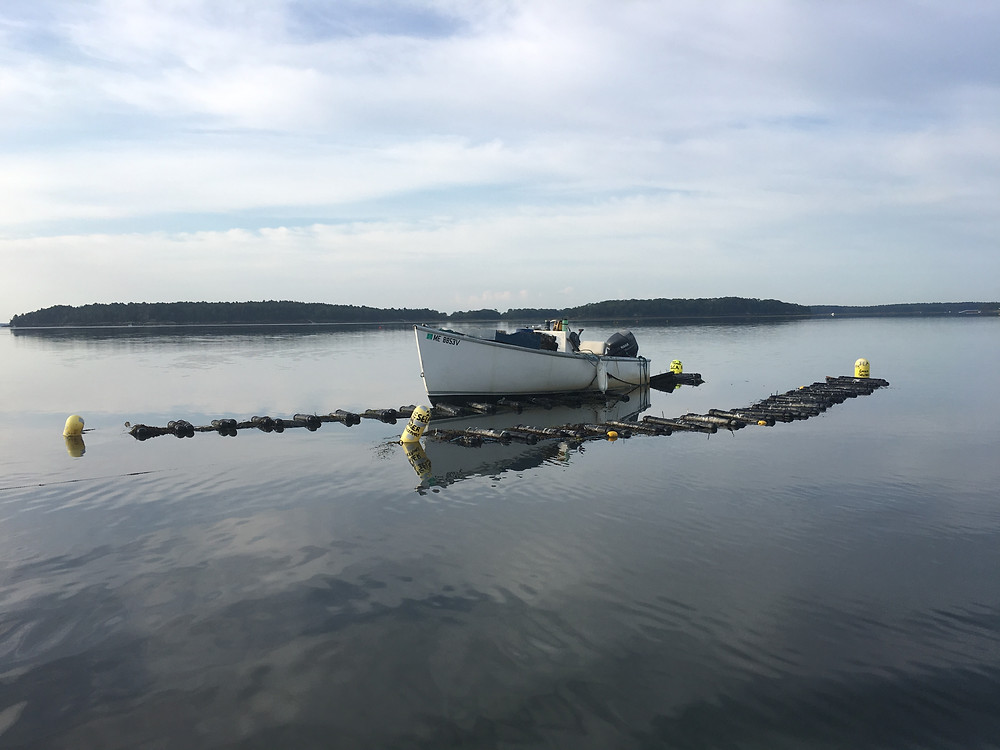 oyster farm maine oysters emilys oysters