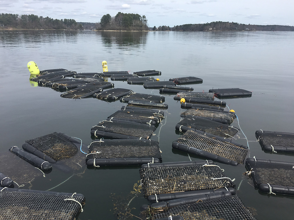 Emilys Oysters in Freeport Maine is ready to expand the farm and start growing more tasty Maine oysters