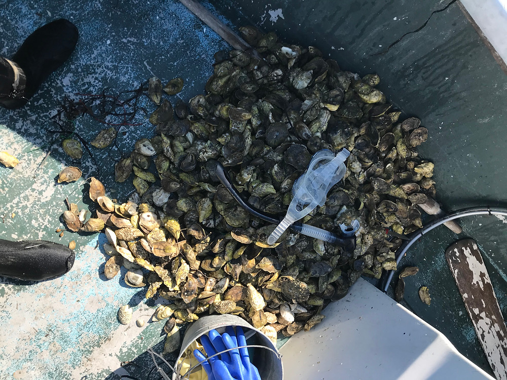 diver havested fresh maine oysters