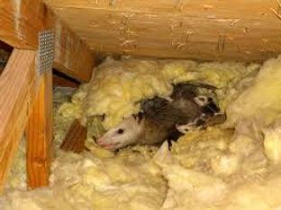 Exterminateur opossum Montréal et environ | Capture opossum dans le grenier | Danger opossum dans la maison