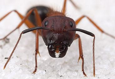 Exterminateur fouris Montréal 514-915-3601 | Extermination fourmis charpentière | Problème fourmis de pavé