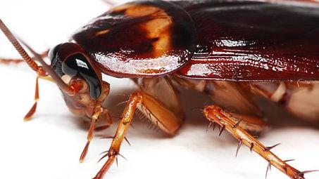 Exterminateur coquerelles Montréal | Extermination de blattes 514-915-3601 | Infestation de cafards dans la maison