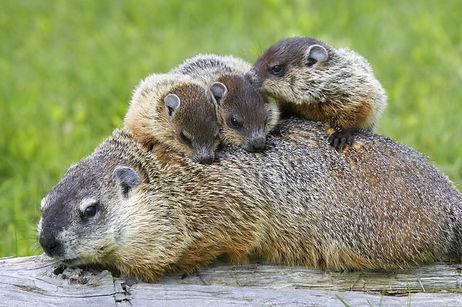 Capture marmotte Montréal,Exterminateur extermination marmotte,Déloger marmotte sous cabanon