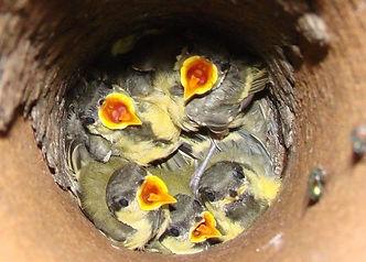 Exterminateur oiseaux Montréal 514-915-3601 | Enlever nid oiseaux dans tuyaux | Contrôle oiseaux Montréal
