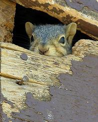 Capture écureuil Montréal 514-915-3601 | Problème écureuil dans la maison | Écureuil dans le foyer | Exterminateur extermination écureuil Montréal