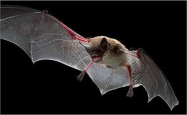 Exterminateur chauve-souris Montréal, exclusion chauve souris 514-915-3601, capture chauve souris, chauve souris dans la maison