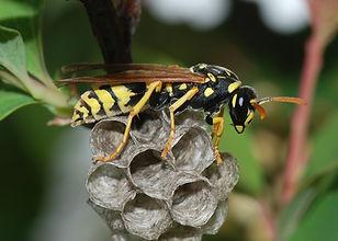 Exterminateur extermination guêpes abeilles Montréal