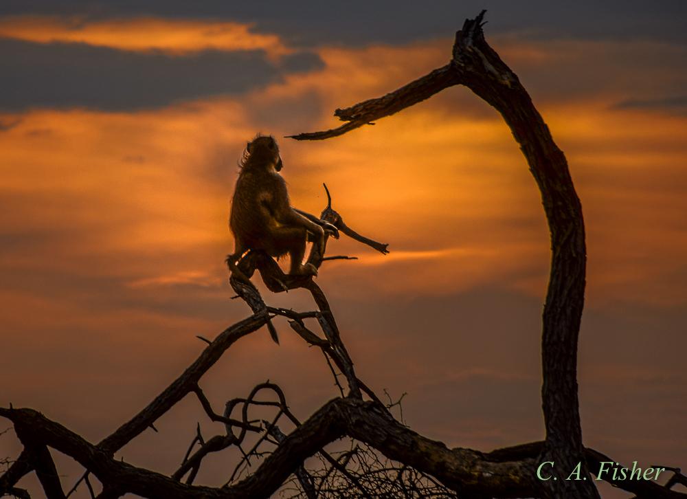 Chacma Baboon Watching Sunset